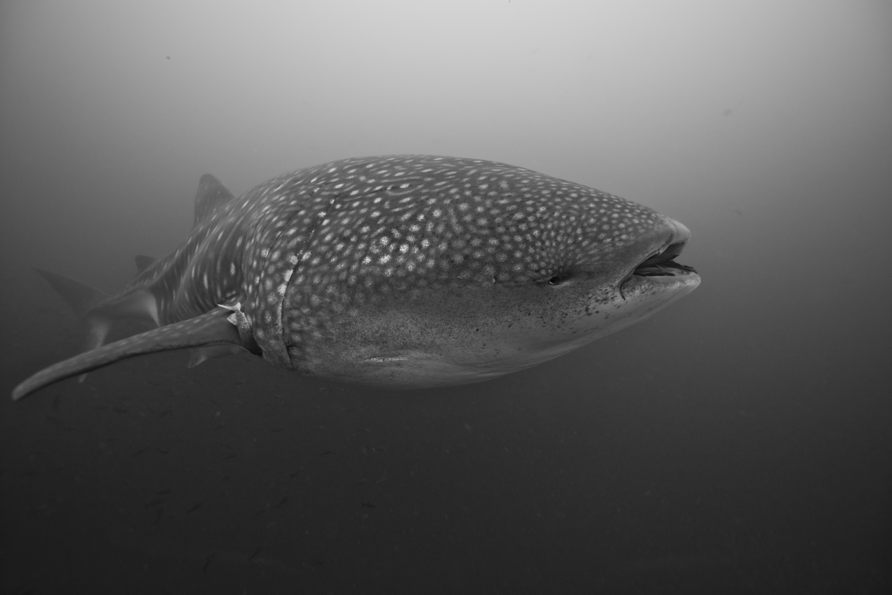Whale shark Galapagos Islands - Action Scuba photographer